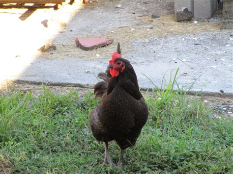 backyard chicken are backyard chickens legal in orleans and jefferson parish