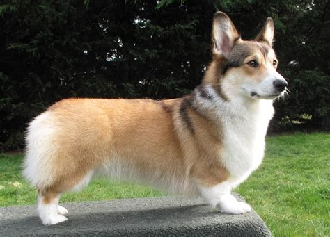 pembroke corgi colors corgi colors