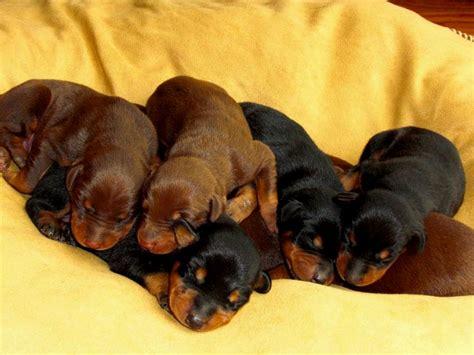 doberman shepherd puppies doberman shepherd puppies puppies puppy