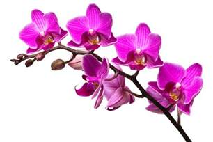 orchid flowers opinions on orchid disambiguation