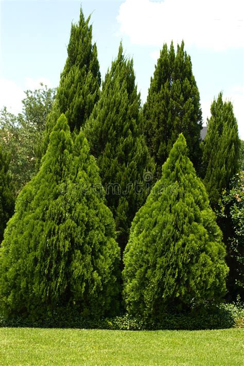 evergreen trees  green yard stock photo image