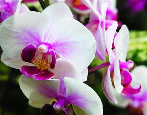 tips  merawat tanaman hias bunga anggrek bulan