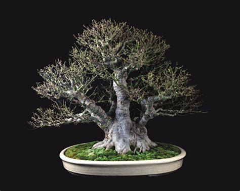 esszimmer tische rochester ny 1000 images about penjing bonsai suiseki on