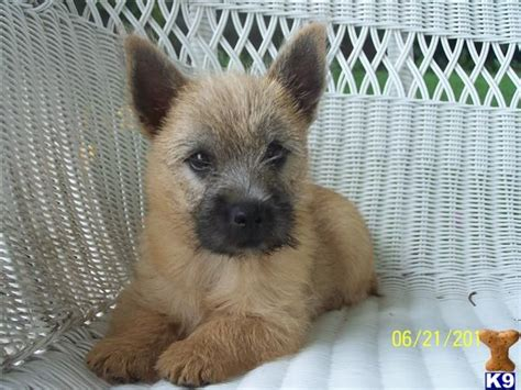 cairn terrier puppy 1000 ideas about terrier puppies on terriers boston terriers and boston