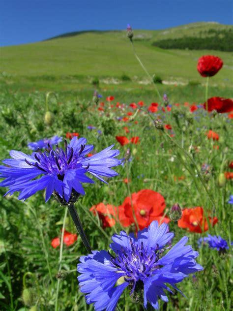 fiordaliso fiore foto arabeschi di luce il fiordaliso