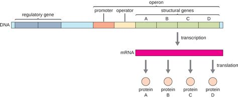 r protein operon gene regulation operon theory textbook chapters