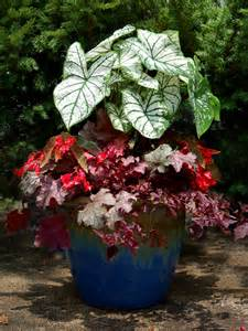caladium plant on pinterest container garden container gardening and elephant ears