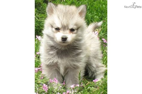 alaskan klee puppies for sale klee puppies daily puppy to moshi the alaskan klee breeds picture