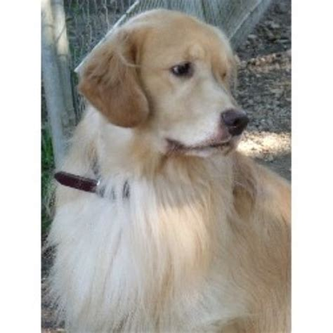 golden retriever breeder nc seasons gold golden retriever breeder in harrisburg carolina