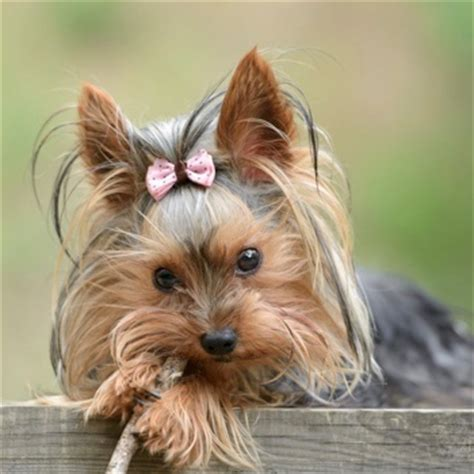 traits of a yorkie characteristics of a terrier photo
