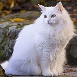 White Fluffy 50 Most Beautiful Turkish Angora Kitten Pictures