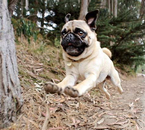 pug bee sting 35 best ideas about pugs do the funniest things on garden gnomes a pug