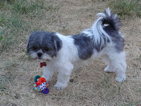 shih tzu breed characteristics dogs shih tzu puppies and dogs traits and behaviors breeds picture
