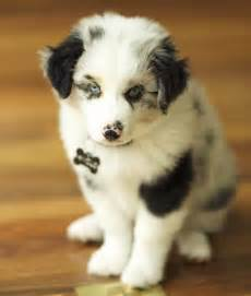 Mini australian shepherd mix puppies for sale images amp pictures