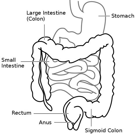 diagram of the intestines original file svg file nominally 471 215 456 pixels