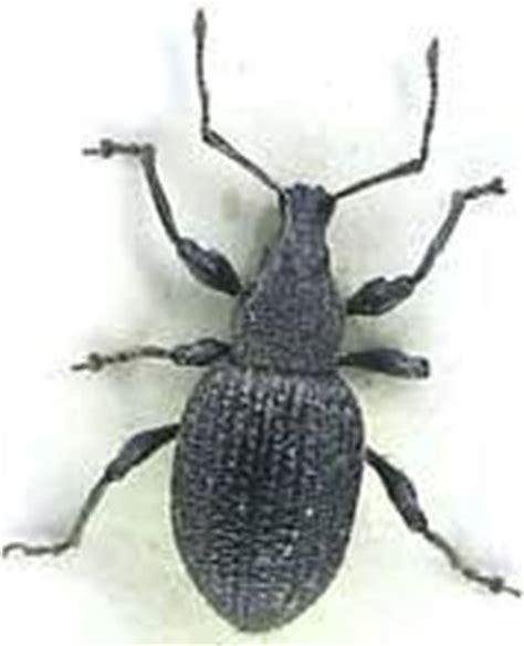 insetto nero volante oziorrinco parassiti delle piante