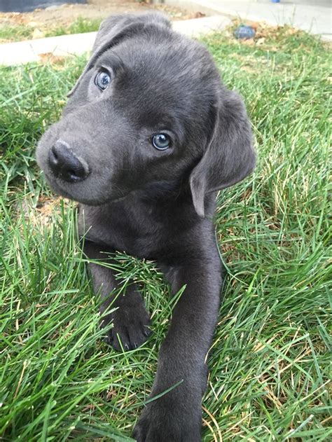 lab puppies dallas best 20 silver labs ideas on silver lab puppies silver labrador and grey