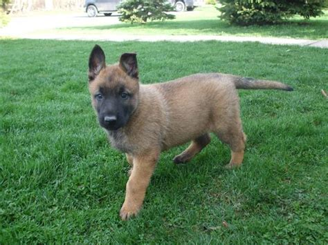 belgian malinois puppies for adoption belgian malinois rescue breeds picture
