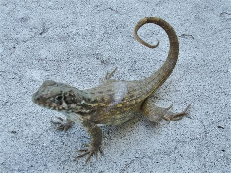 Curly tailed Lizards (Genus Leiocephalus) · iNaturalist.org