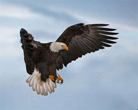 Fly As An Eagle pictures of eagle flying gallery eagles of homer