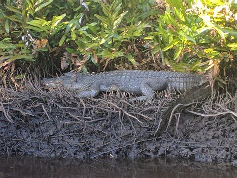 everglades national park boat tours mangrove wilderness alligator on the shoreside picture of everglades
