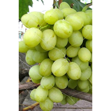 Table Grapes by Altay Table Grape Vine