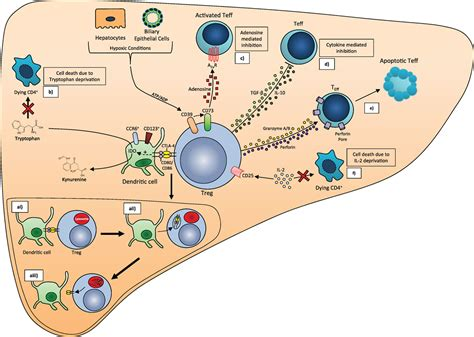 frontiers the of regulatory t frontiers clinical potential of regulatory t cell