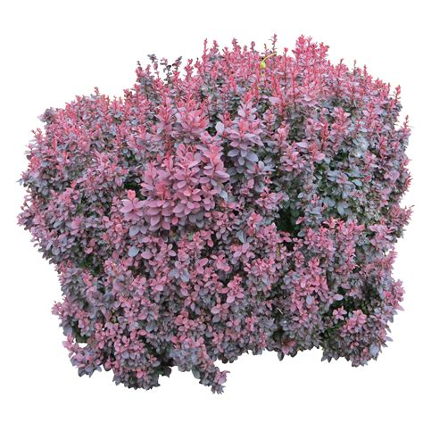 top flowering shrubs bushes png images free bush png