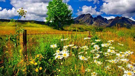 spring landscape spring landscape chamomile flowers and green grass