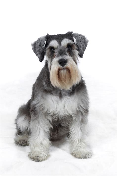 how to give a miniature schnauzer puppy a first haircut ehow miniature schnauzer www pixshark com images galleries