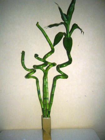Tanaman Hias Bambu Hoki Spiral bambu hoki atau lucky bamboo dapur segar