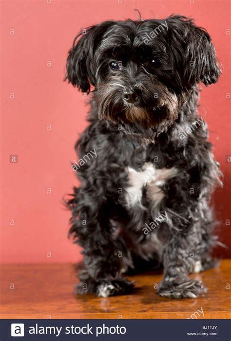yorkie mix black black maltese terrier mix www imgkid the image kid has it