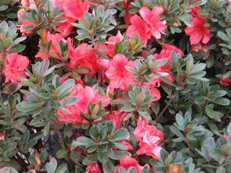 what color is azalea best 25 azalea color ideas on pink color