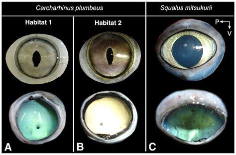 visual optics  ecomorphology   growing shark eye
