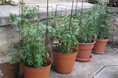 membuka usaha hidroponik cara budidaya tomat hidroponik di pot atau polybag