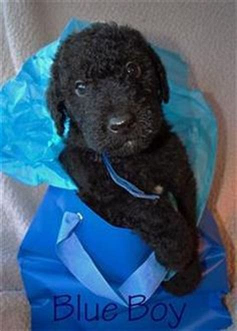 oregonlive puppies neutered airedoodle looking for new home in ontario canada pupperschnuffs