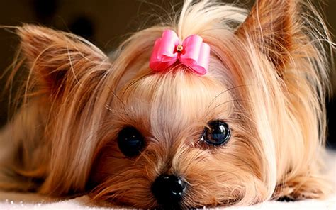 pretty yorkies 15 puppy pictures to help you procrastinate even more