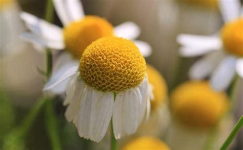 fiore della camomilla struccante alla camomilla ricetta casalinga
