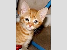 ginger kitten for sale | Warwick, Warwickshire | Pets4Homes Kittens For Sale
