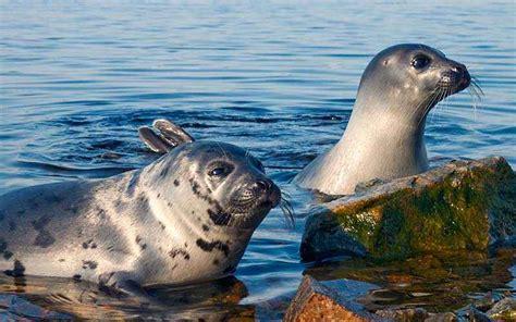imagenes de focas blancas cuantovive org animales y plantas