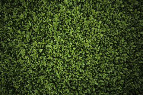 pattern bush leaf green green leaves privet ligustrum 183 free stock photo