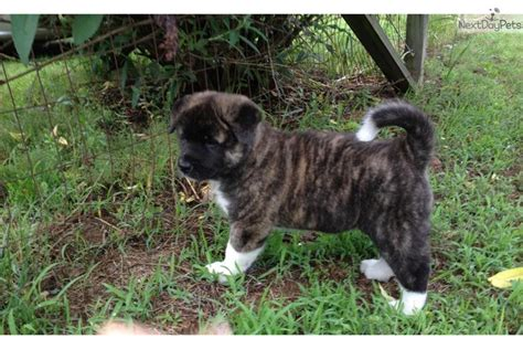 akita puppies for sale in michigan akita inu japanese line for sale breeds picture