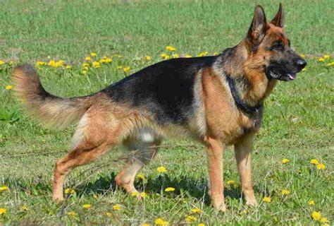 dogs 101 german shepherd articles 183 page 4 of 4 183 german shepherd 101