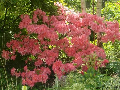 patio rhododendron a view from rural wales azaleas garden on