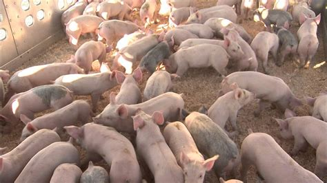 Farm 48 T Max Top Quality producing high quality pig feed
