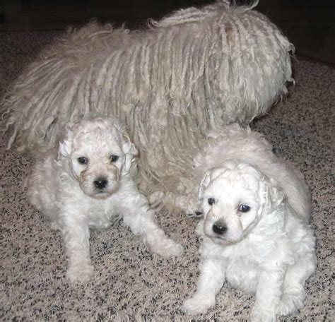 puppies for sale oregon puli puppies for sale in oregon or black white pulik