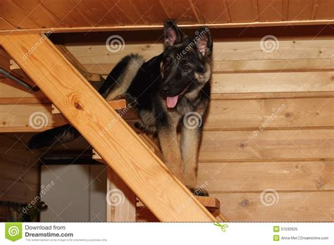 german shepherd house german shepherd puppy stock photo image 51532625
