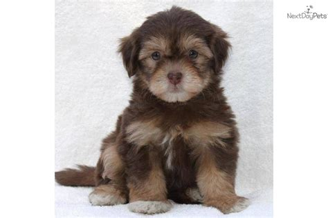 chocolate havanese puppies for sale havanese puppy for sale near san francisco bay area california f3823b33 72e1