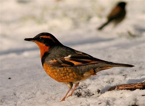 varied thrush for the birds pinterest