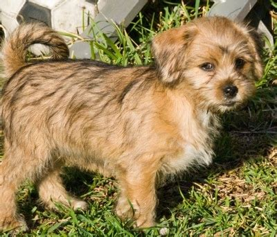 shih tzu mini pinscher mix pin tzu miniature pinscher x shih tzu mix info temperament puppies pictures